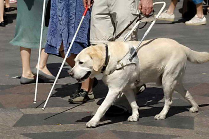 собака для незрячих