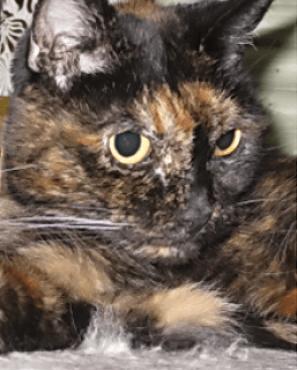 Тиффани старая кошка