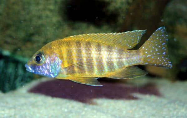 Аулонокара - красивая рыбка