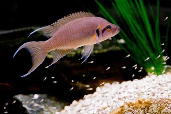 Принцесса Бурунди - красивая аквариумная рыбка