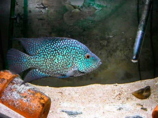Бриллиантовая цихлазома - удивительная рыбка