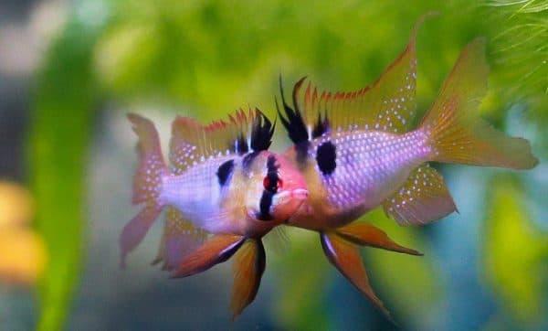 Апистограмма Рамирези рыбка