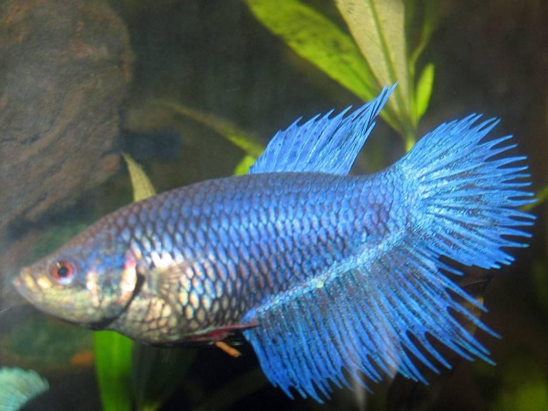 Красивая рыбка петушок