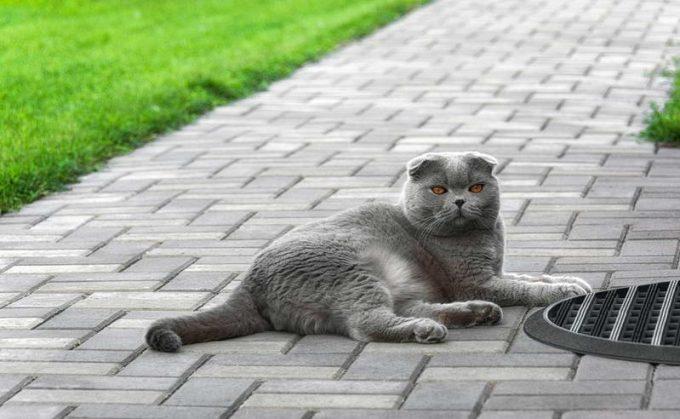 Как узнать британскую кошку