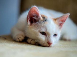 Как вылечить домашних кошек от глистов?