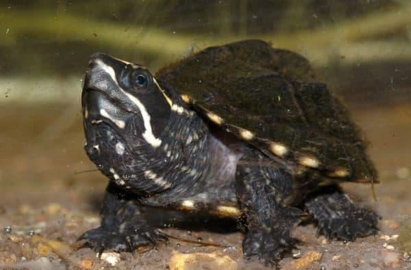 Мускусная черепаха. Содержание, фото, видео