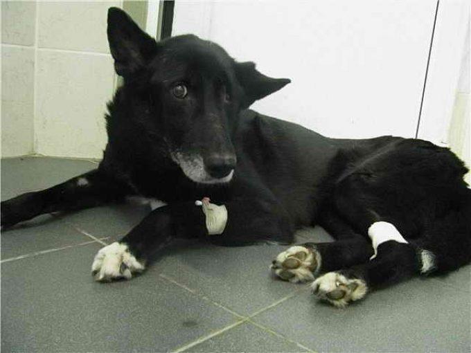 восстановление собаки после инсульта