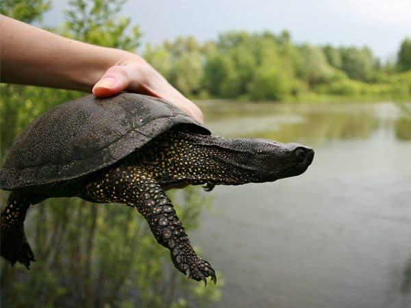 Прекрасная европейская болотная черепаха