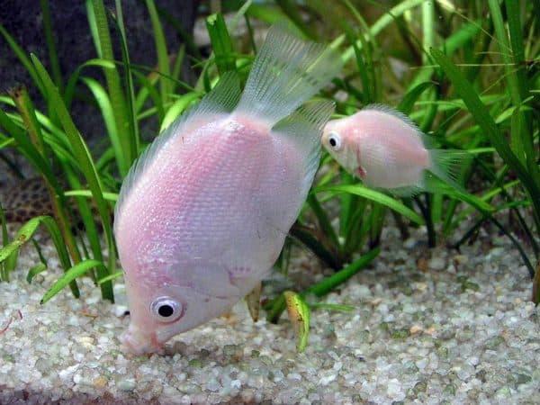 Гурами целующиеся - прекрасные рыбки в аквариуме