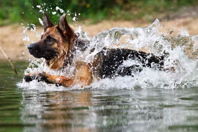 овчарка купается в водоеме