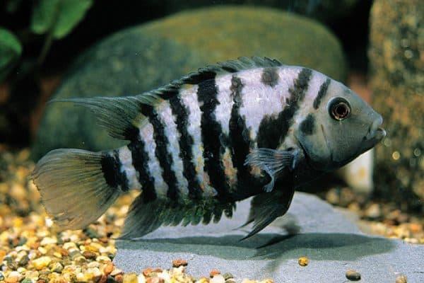 Цихлазома чернополосая рыбка
