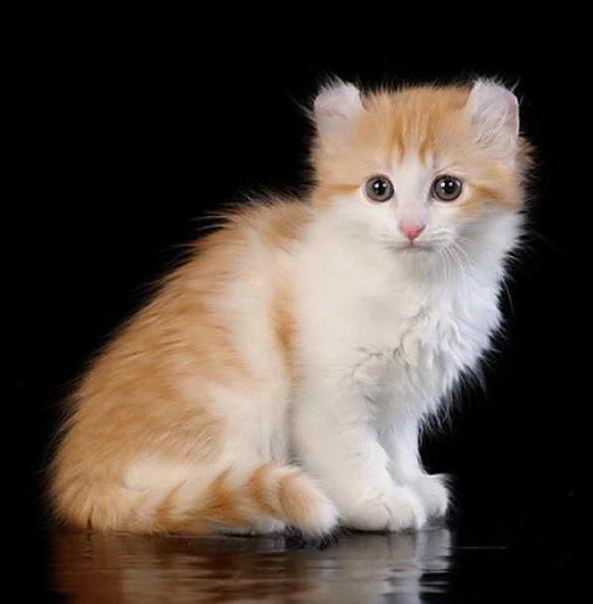 котенок керла