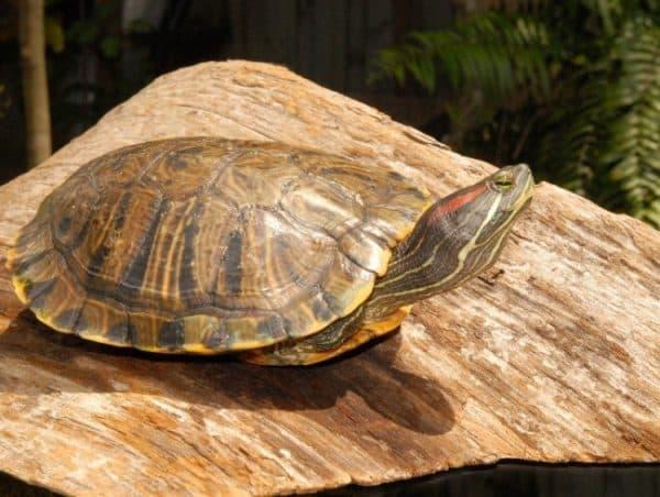 Красноухая (желтобрюхая) черепаха