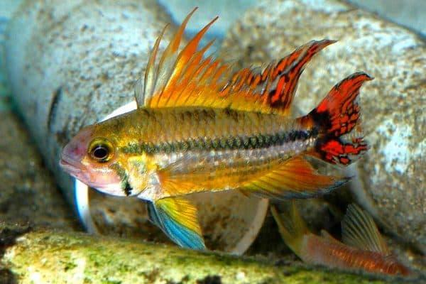 Апистограмма какаду - прекрасная рыбка в аквариуме
