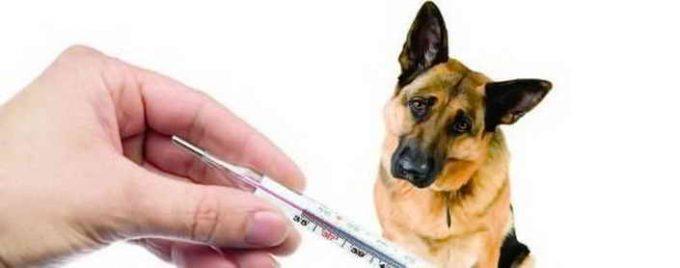 какая температура у собаки нормальная