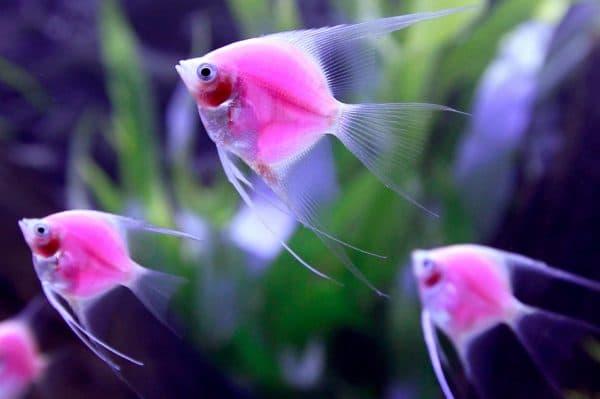 Скалярия светящиеся аквариумная рыбка