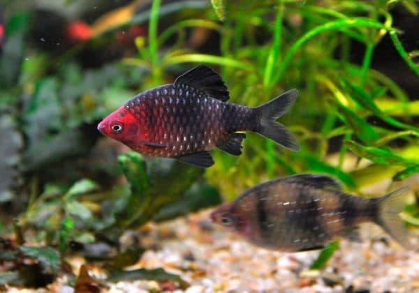 Черный барбус - удивительная рыбка