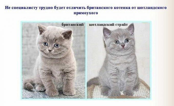 отличие британской и шотландской кошек фото