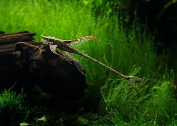 Стурисома панамская - красивый сомик