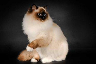 красивая кошка регдолл