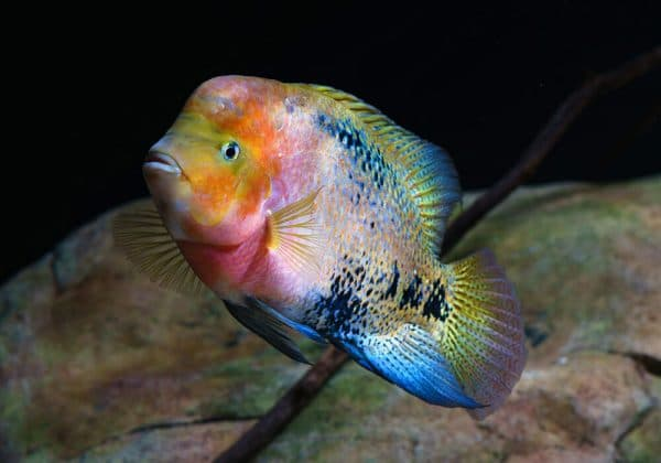 Радужная цихлазома - красивая аквариумная рыбка