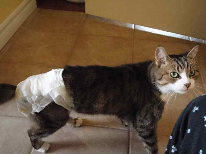 на кота надели памперс