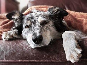 собака плохо ест вялая