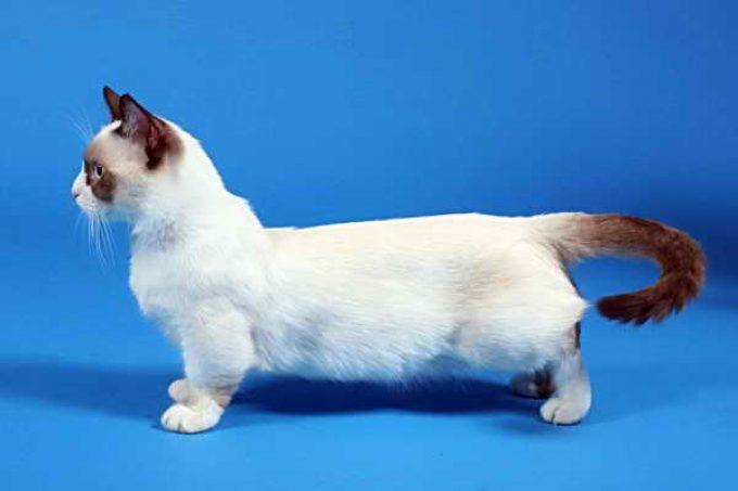 телосложение кошки