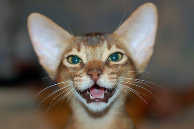 нужно ли кошкам чистить зубы