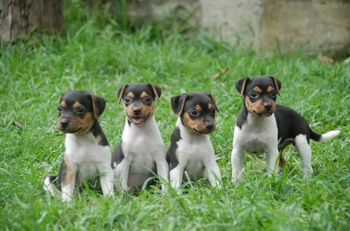 бразильский терьер щенки