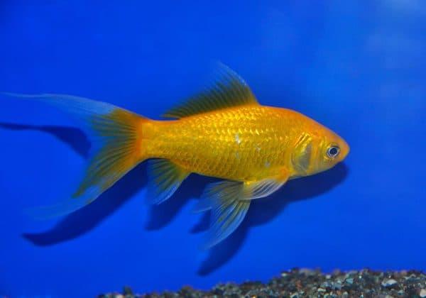 Комета аквариумная рыбка в аквариуме