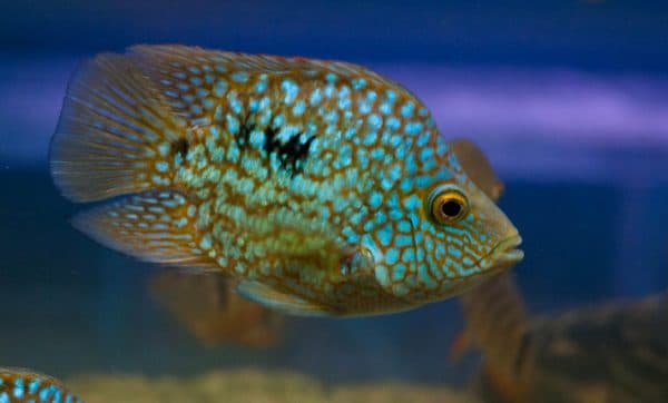 Бриллиантовая цихлазома - прекрасная рыбка
