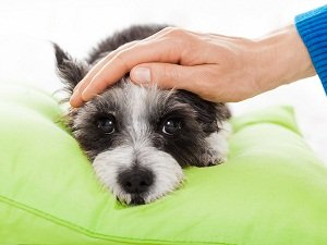 какая температура должна быть у собаки