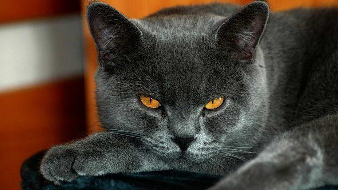 характер и повадки британского кота