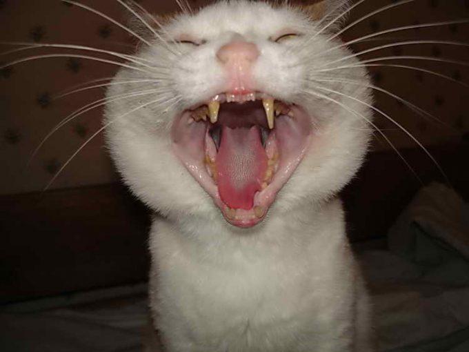 причины неприятного запаха изо рта у кошки