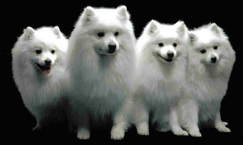 американская эскимосская собака фото
