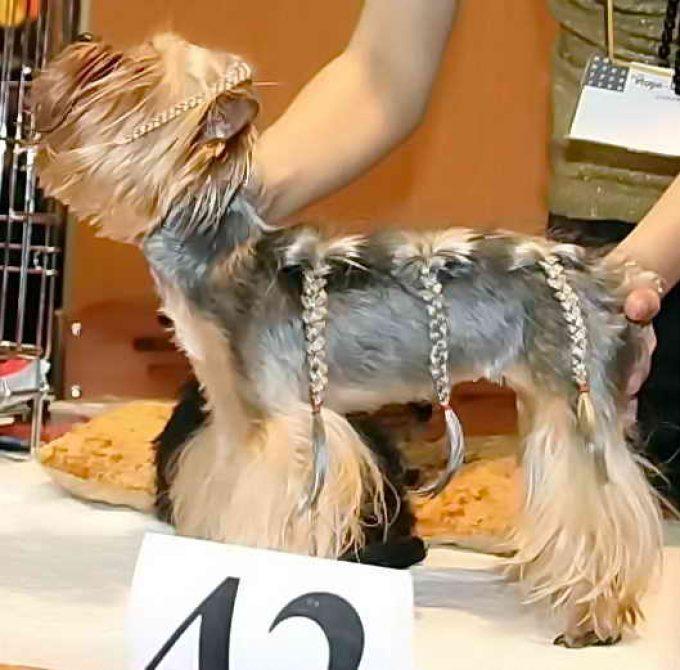 фото стрижки французская коса у йорка