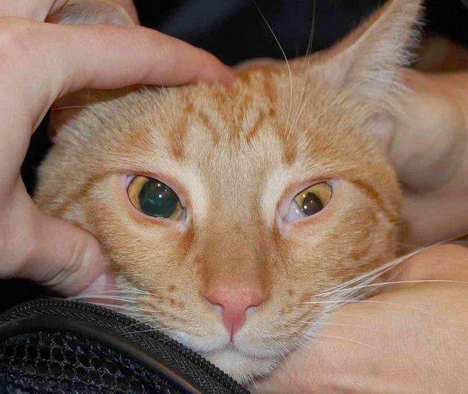 причины анизокории у кошки