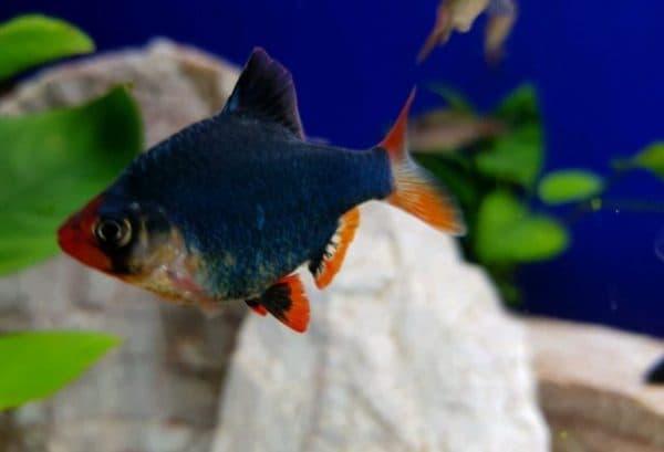 Мшистый барбус - удивительная рыбка в аквариуме
