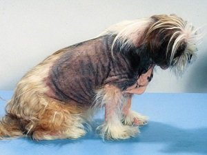 собака чешется и выпадает шерсть лечение