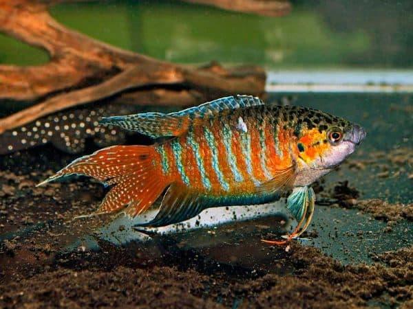 Рыбка макропод или райская рыбка