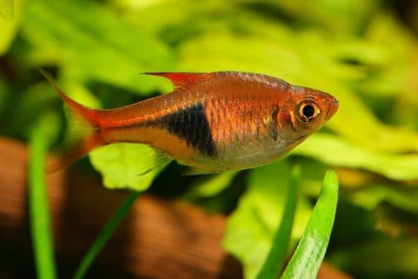 Клинопятнистая расбора - прекрасная рыбка в аквариуме