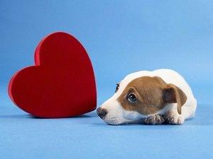 сердечная недостаточность у собаки симптомы