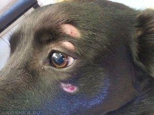 выпадает шерсть у собаки у глаза