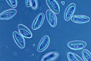 Что такое бластоцисты, лечение бластоцистоза