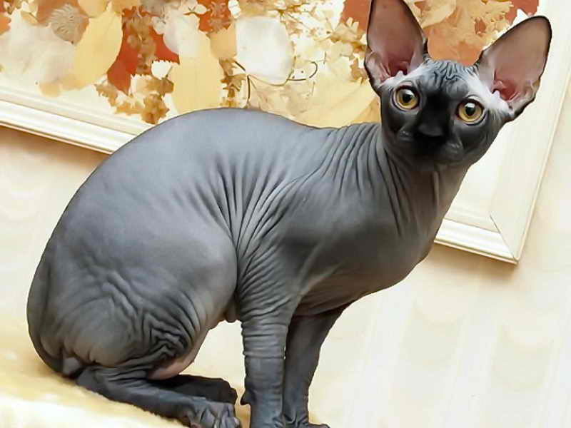 Порода сфинкс: фото кошек без шерсти, описание характера