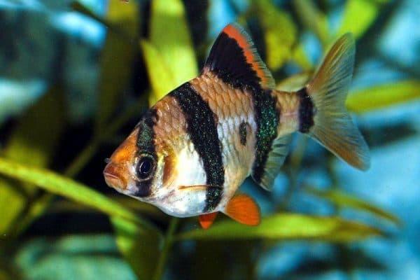 Рыба суматранский барбус