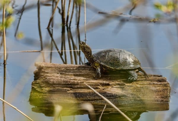 Европейская болотная черепаха красивое фото