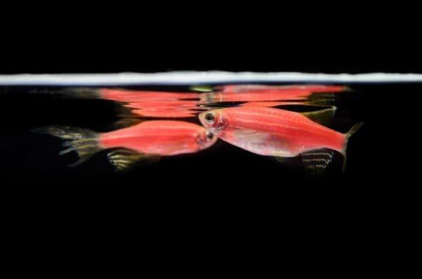 Данио розовый - прекрасная рыбка в аквариуме