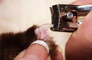 кусачками стригут когти кошке